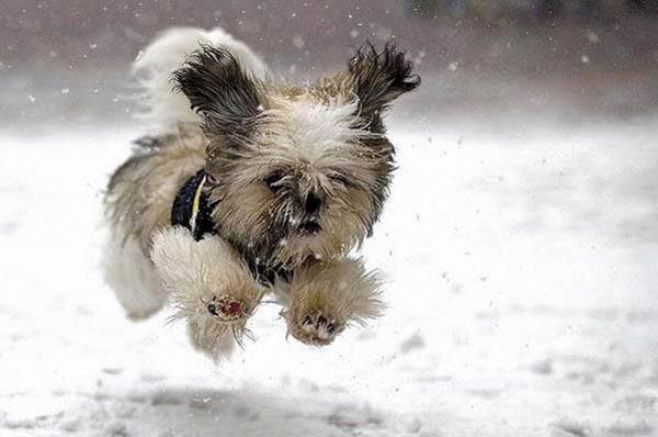 Benji Dog Breed