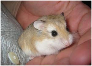 Robo Hamster!