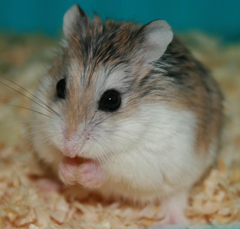 roborovski hamster height