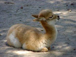 baby-llama