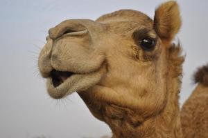"""Hi! I'm a camel, and I'm here to wreck your tent."""